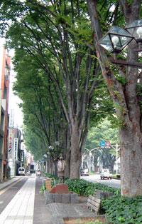 前橋駅前のケヤキ並木